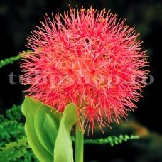 Bulbi Scadoxus Multiflorum (Amaryllidacee)