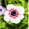 Bulbi Anemone Bicolor