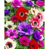 Bulbi Anemone de Caen Mix
