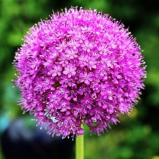 Bulbi Allium (Ceapa decorativa)