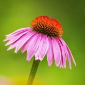 Bulbi Echinacea