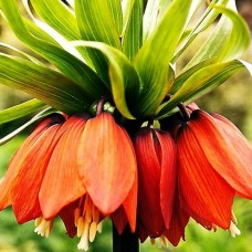 Bulbi Lalele Imperiale (Fritillaria)