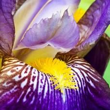 Bulbi Iris (Stanjenel)