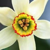 Bulbi Narcise