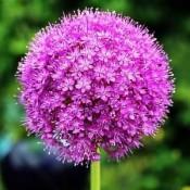 Bulbi Allium (Ceapa decorativa)