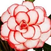Bulbi Begonia