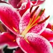 Bulbi Crini (Lilium)
