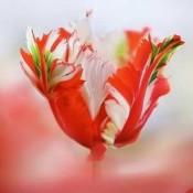 Bulbi Lalele (Tulip)