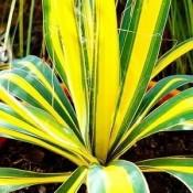 Bulbi Yucca