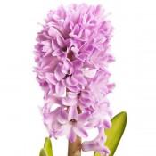 Bulbi Zambile (Hyacinthus)