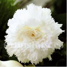 Bulbi Begonia Creata Alba