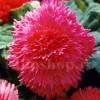Bulbi Begonia Creata Roz