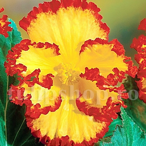 Bulbi Begonia Crispa Marginata Galbena
