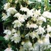 Bulbi Begonia Curgatoare Alba