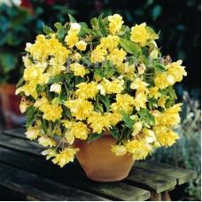 Bulbi Begonia Curgatoare Galbena