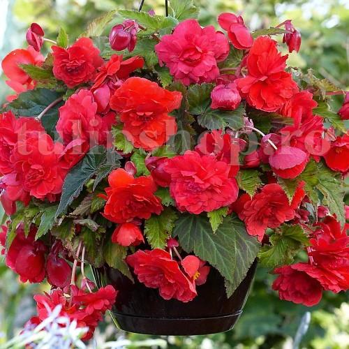 Bulbi Begonia Curgatoare Rosie