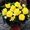Bulbi Begonia Nonstop Galbena