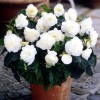 Bulbi Begonia Nonstop Alba