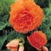 Bulbi Begonia Creata Portocalie