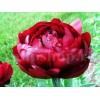 Bulbi Bujori Buckeye Belle (Paeonia)