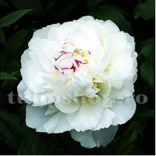 Bulbi Bujori Shirley Temple (Paeonia)