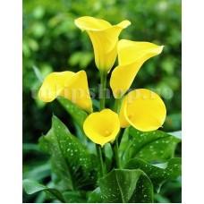 Bulbi Cala Florex Gold (Zantedeschia)