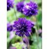 Bulbi Caldarusa Blue Barlow (Aquilegia)