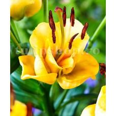 Bulbi Crin Apricot Fudge (Lilium)