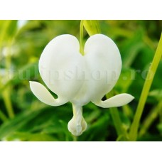 Bulbi Dicentra Spectabilis Alba (Cerceii Doamnei)