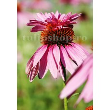 Bulbi Echinacea Double Decker