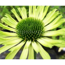 Bulbi Echinacea Green Jewel