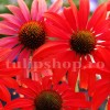 Bulbi Echinacea Red Magnus