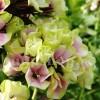Bulbi Flox Sherbet Blend (Phlox)