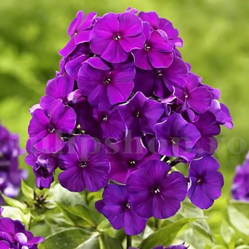 Bulbi Flox Purple Flame (Phlox)