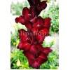 Bulbi Gladiole Black Star