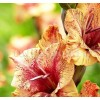 Bulbi Gladiole Brunette