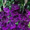 Bulbi Gladiole Purple Flora