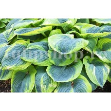 Bulbi Hosta Francess Williams (Crin toamna)