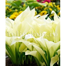 Bulbi Hosta White Feather (Crin toamna)