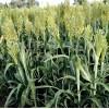Seminte Iarba de Sudan (Sorgum Sudanense) 25kg