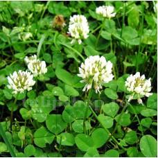 Seminte Trifoi Alb (Trifolium Repens) 25kg