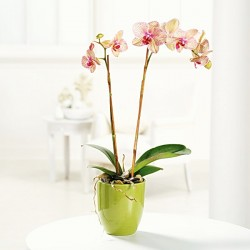 Ingrijirea orhideelor de apartament