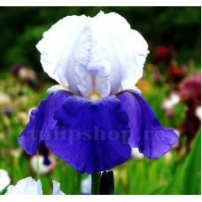 Bulbi Iris Arpage (Stanjenel)