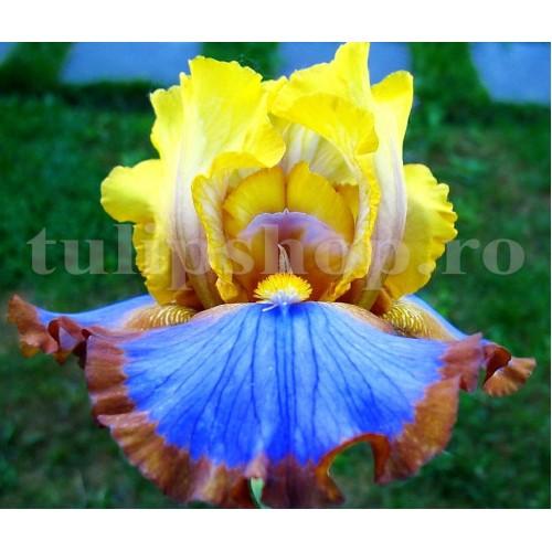 Bulbi Iris Brown Lasso (Stanjenel)