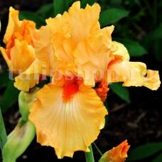 Bulbi Iris Orange Harvest (Stanjenel)