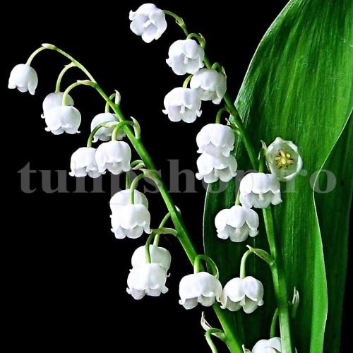 Bulbi Lacramioare (Convallaria)