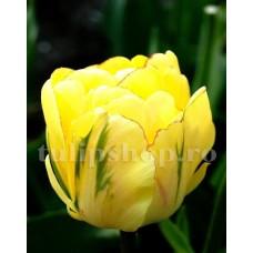Bulbi Lalele Akebono (Tulip)