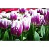 Bulbi Lalele Flaming Flag (Tulip)