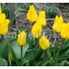 Bulbi Lalele Gold West (Tulip)