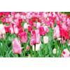 Bulbi Lalele Hemisphere (Tulip)